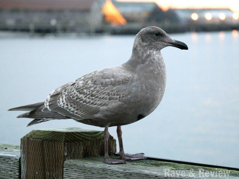Seagull in Blaine Semiahmoo